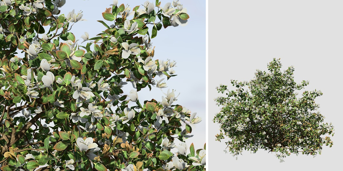 azalea_4_hedge_white