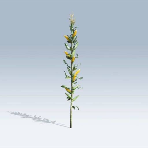 Corn Stalk (v6) 3