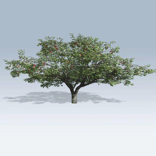 Cherry Tree (v6) 1