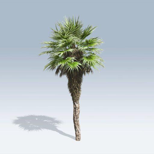 Chinese Fan Palm (v6) 1