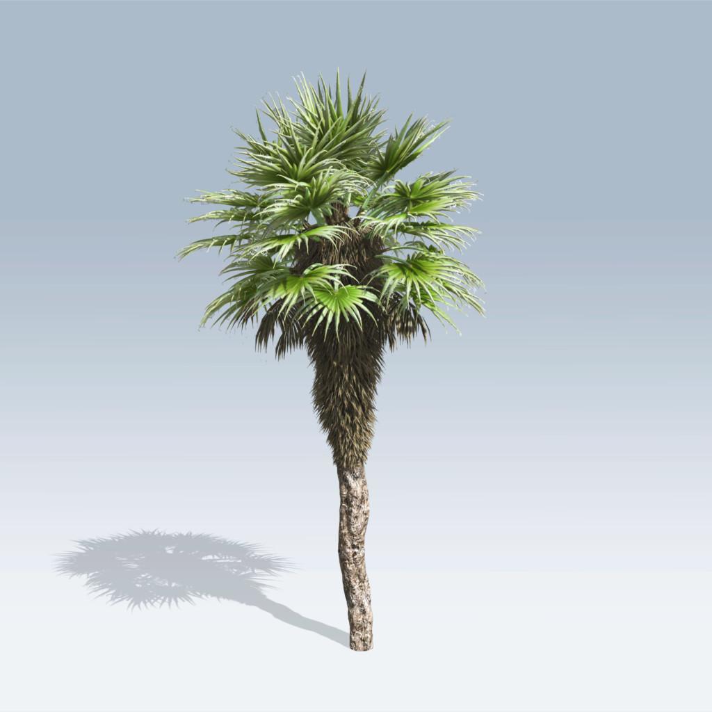 fan palm trees. chinese fan palm (v6) trees