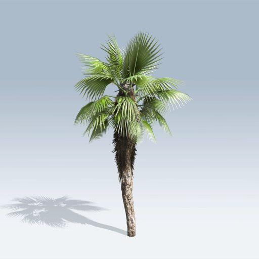 Chinese Fan Palm (v6)