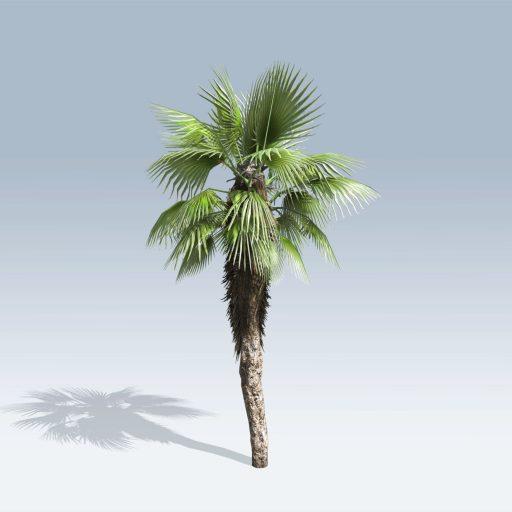 Chinese Fan Palm (v6) 2