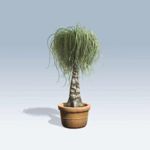 Ponytail Palm (v6)