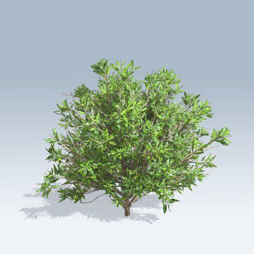Azalea (v6) 1