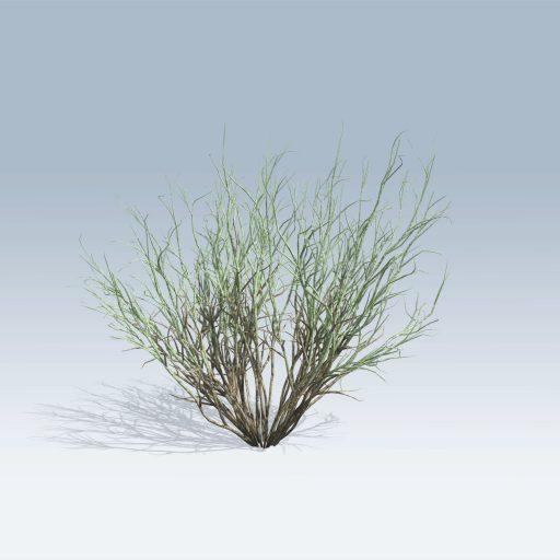 Broom Snakeweed (v6) 1