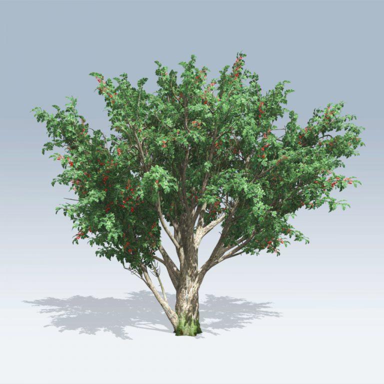 Common Hawthorn (v6)