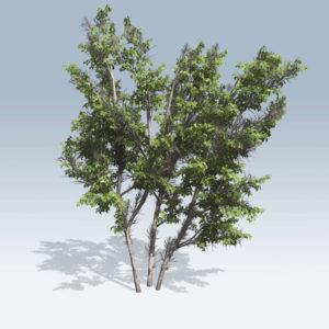 Common Hazel (v6)