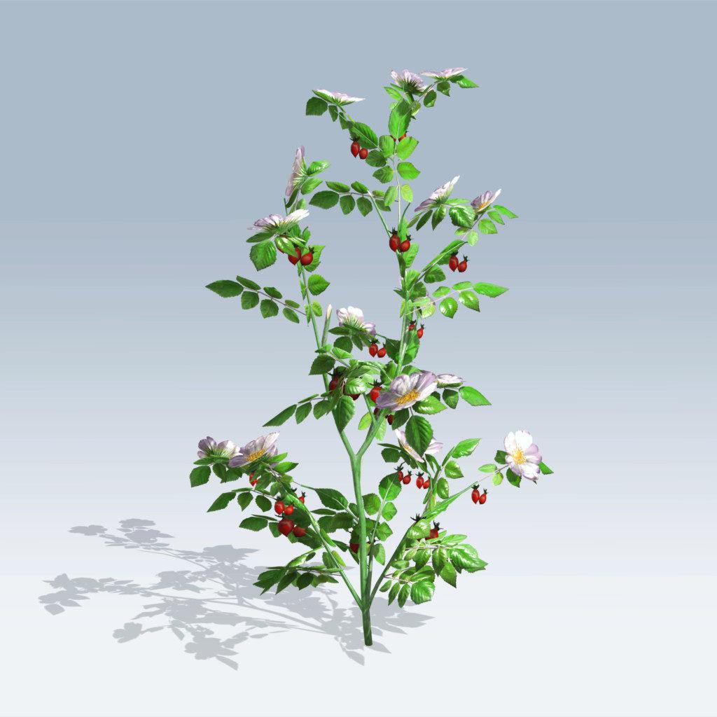 Dog Rose (v6)
