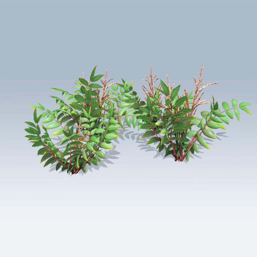 False Spirea Plant (v6)