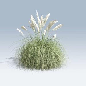 Pampas Grass (v6)