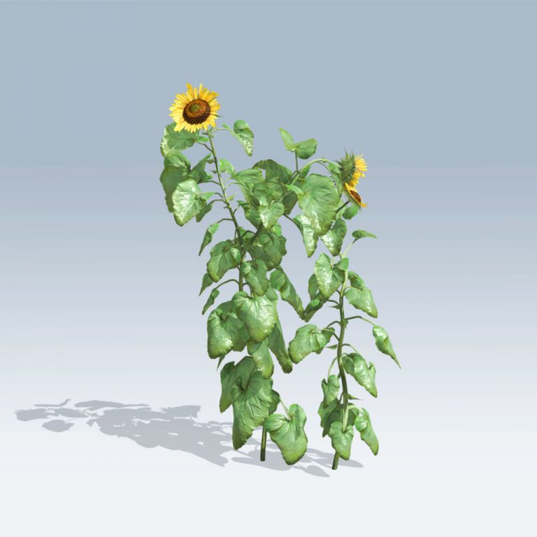 Sunflower (v6)