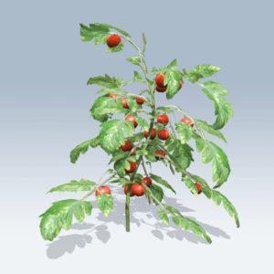 Tomato Plant (v6)