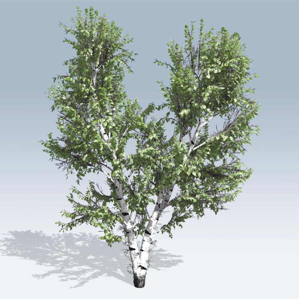European White Birch (v6) – SpeedTree Store