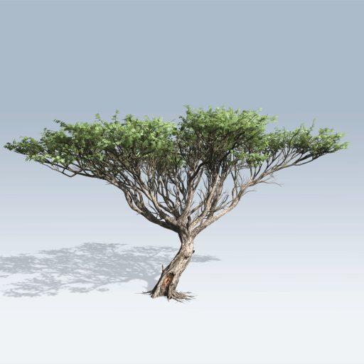 Acacia (v6) 1