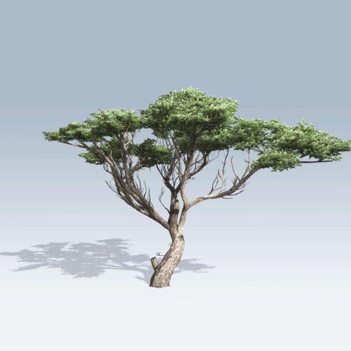 Acacia (v6) 2