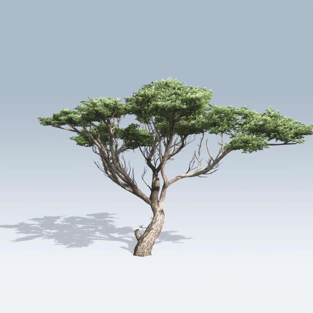 Acacia (v6)