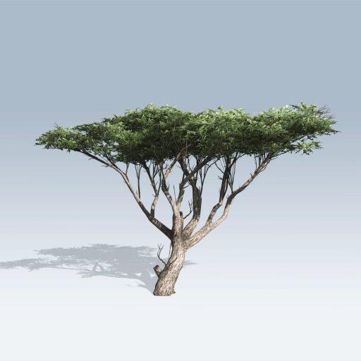 Acacia (v6) 3