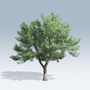 Green Ash (v6)