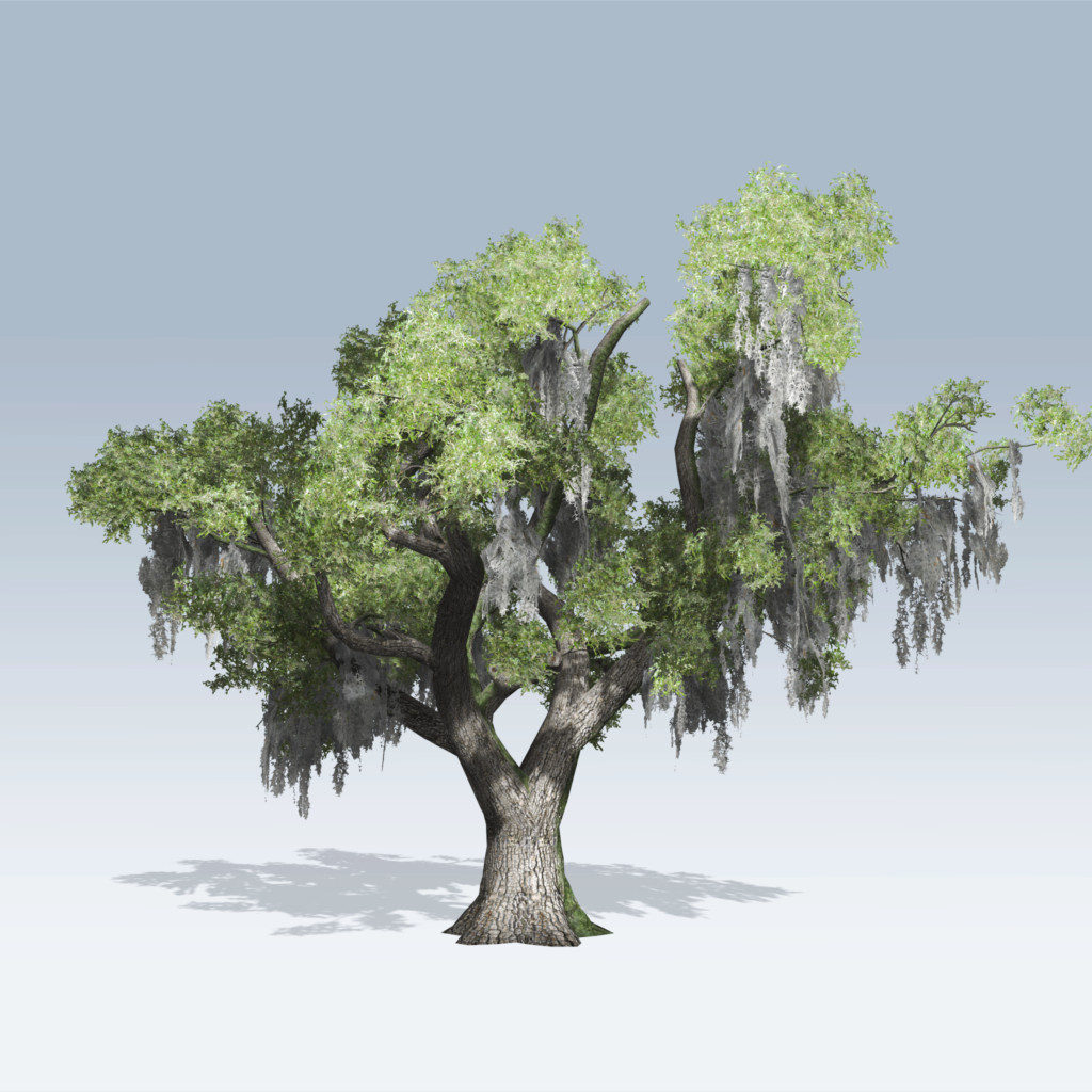 Live Oak (v6)
