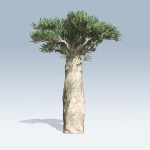 Madagascan Baobab (v6)