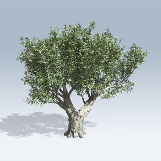 African Olive (v6) 1