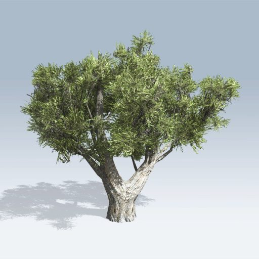 African Olive (v6) 2