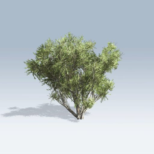 African Olive (v6) 3