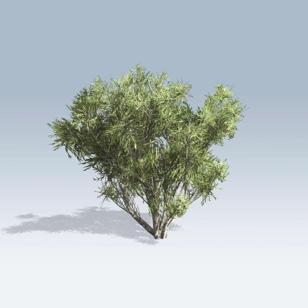 African Olive (v6)