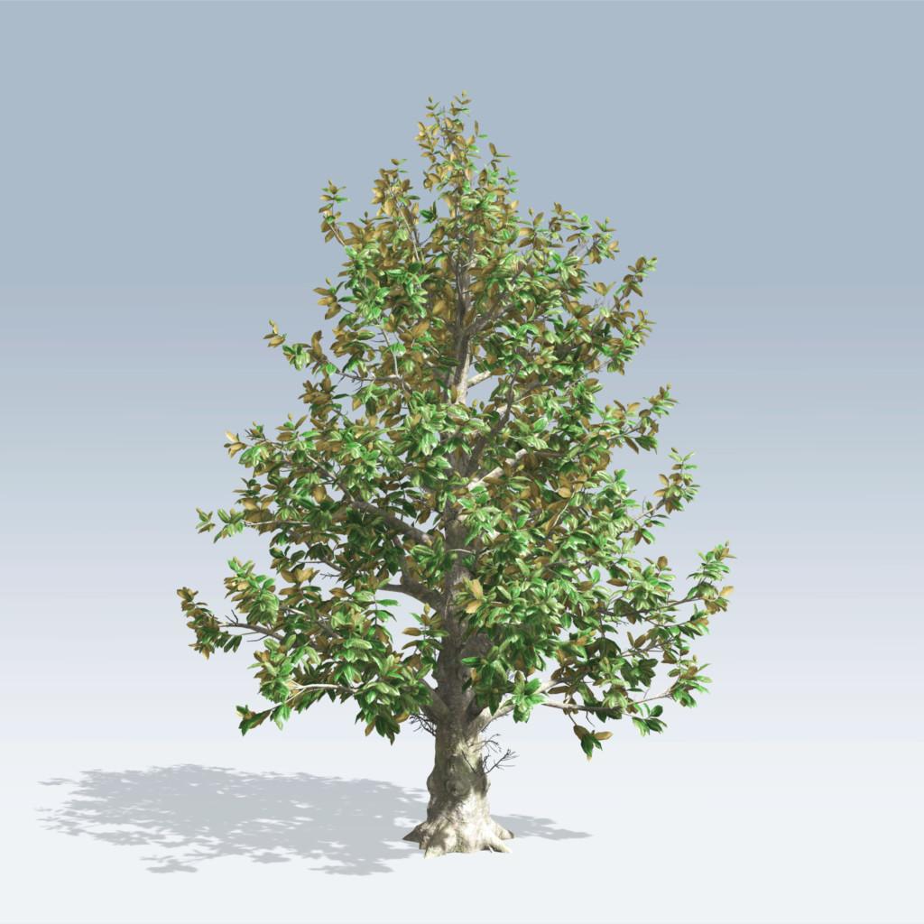 Southern Magnolia (v6) - SpeedTree