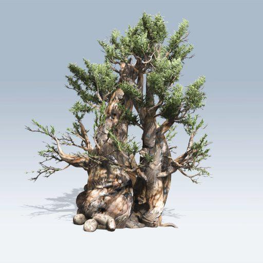 Bristlecone Pine (v6)