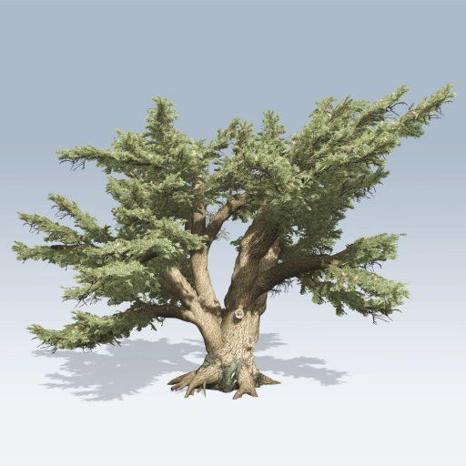 Cedar of Lebanon (v6) 1