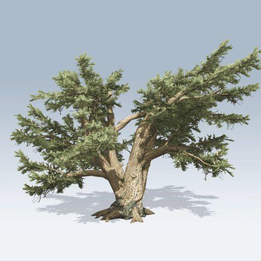 Cedar of Lebanon (v6)
