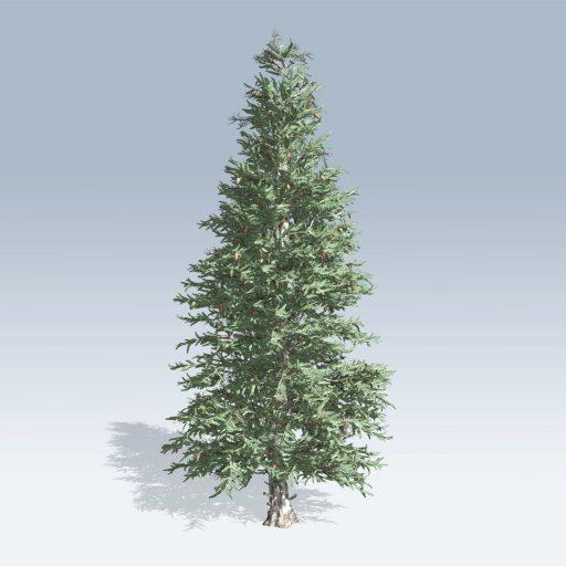 Colorado Blue Spruce (v6) 1