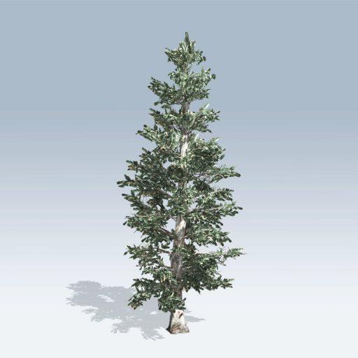 Colorado Blue Spruce (v6)