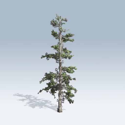 Eastern White Pine (v6) 1