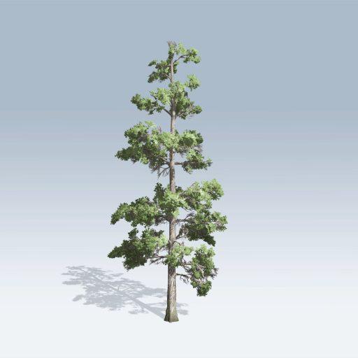 Eastern White Pine (v6)