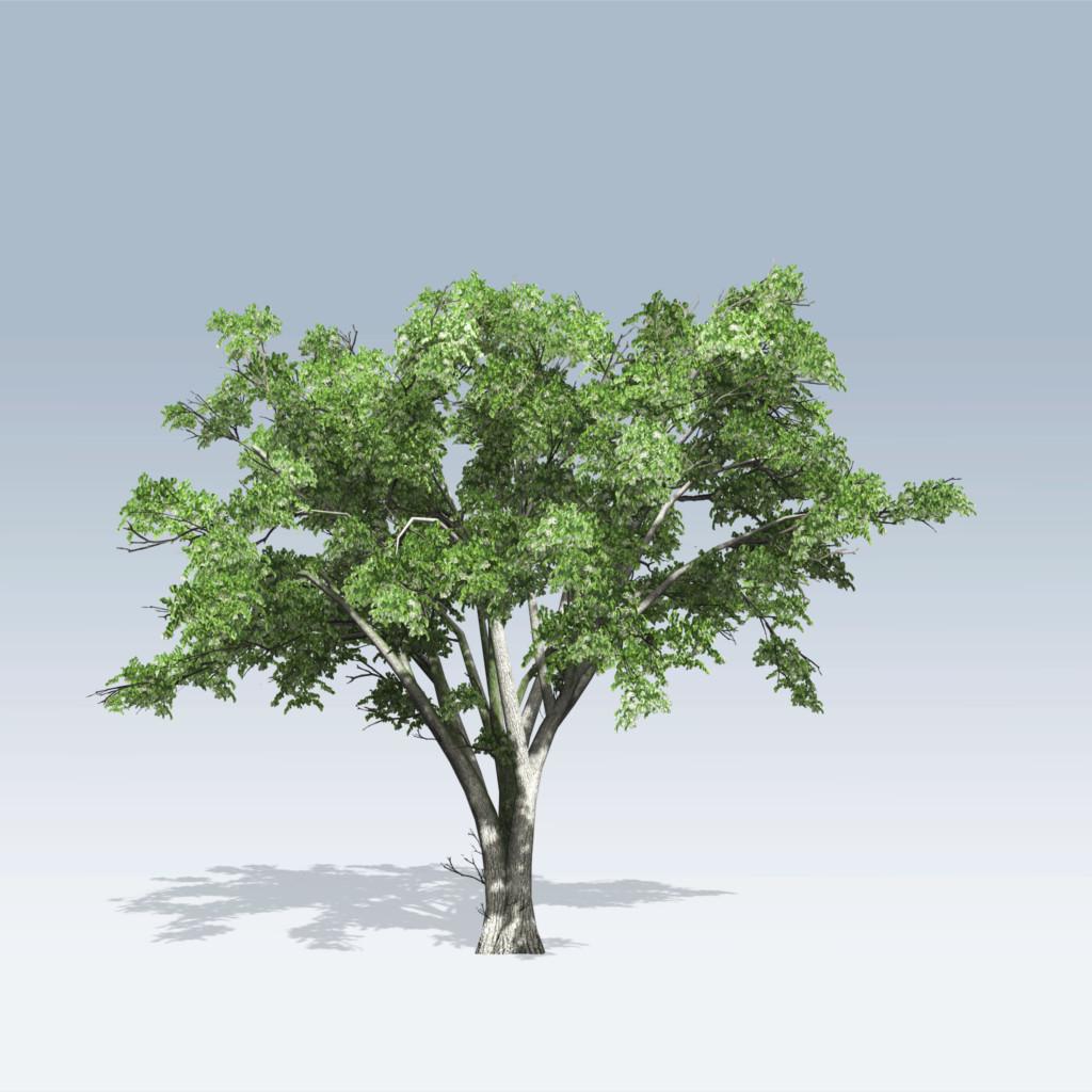 American elm v6 speedtree for American elm