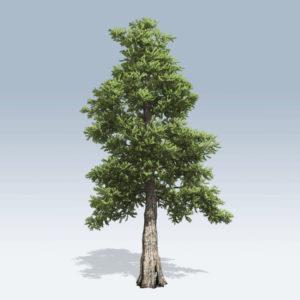 Western Red Cedar (v6)