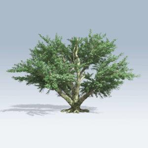 Big Leaf Maple (v6)