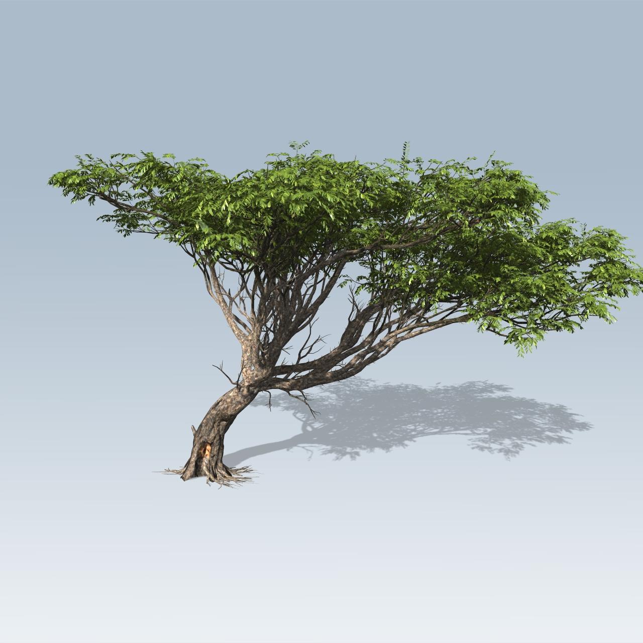Acacia V7 Speedtree