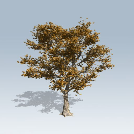 AmericanSycamore_Fall_High