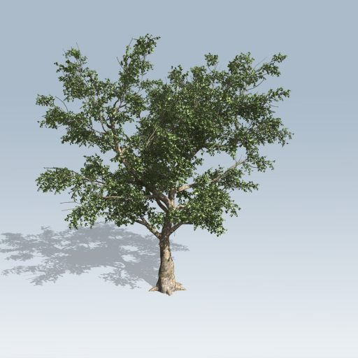 AmericanSycamore_Med