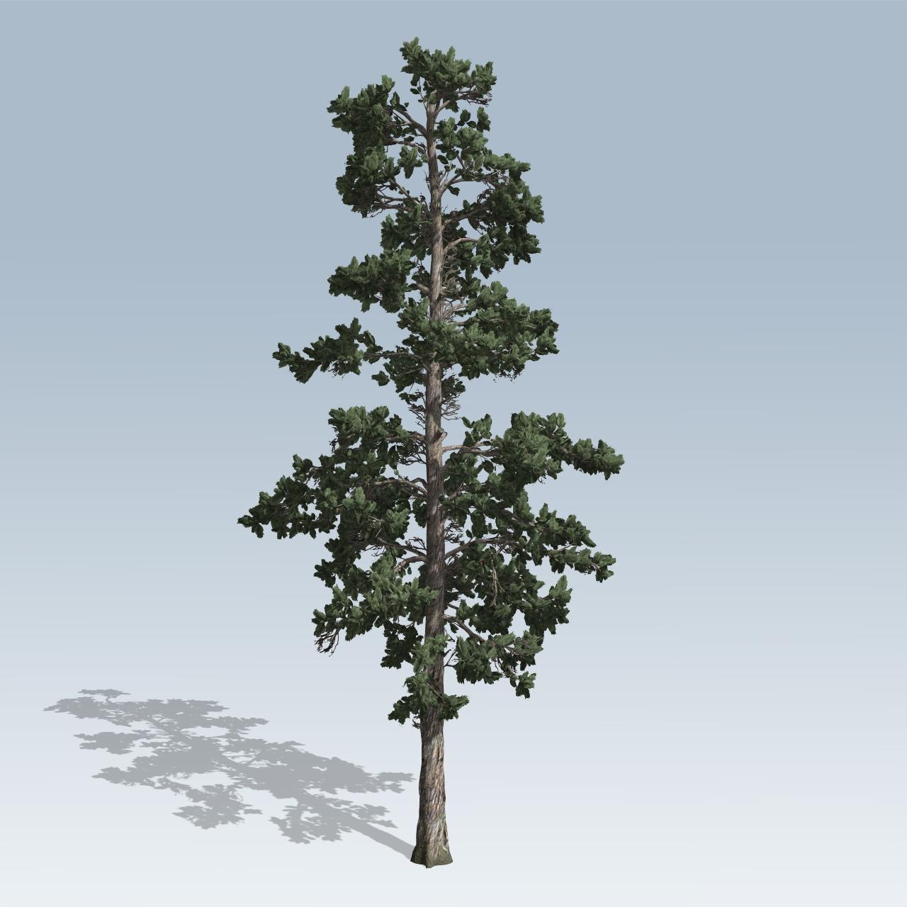Eastern white pine v speedtree