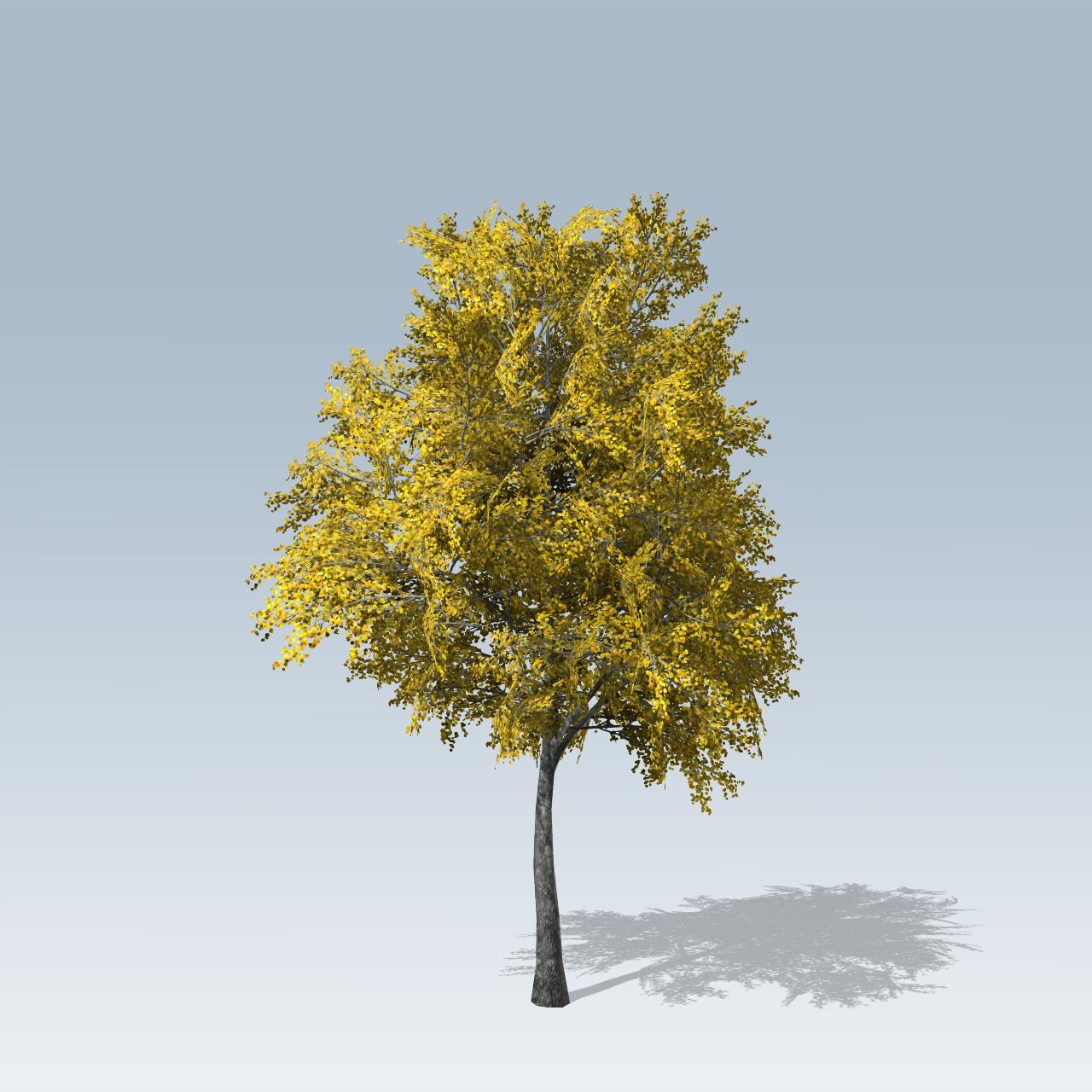 European linden