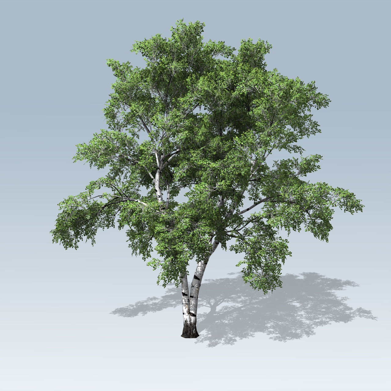 european white birch  speedtree
