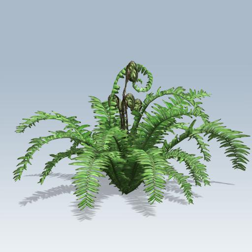 Boston Fern 1