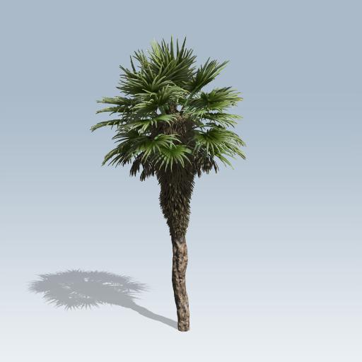 Chinese Fan Palm 1