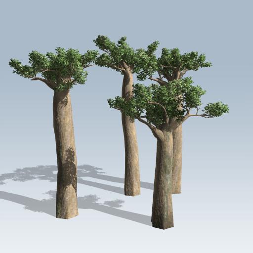 Madagascan Baobab
