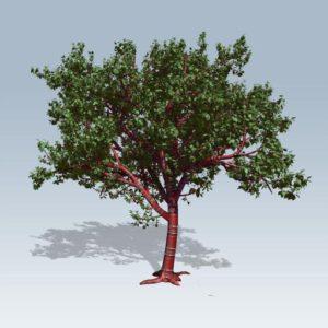 Tibetan Cherry